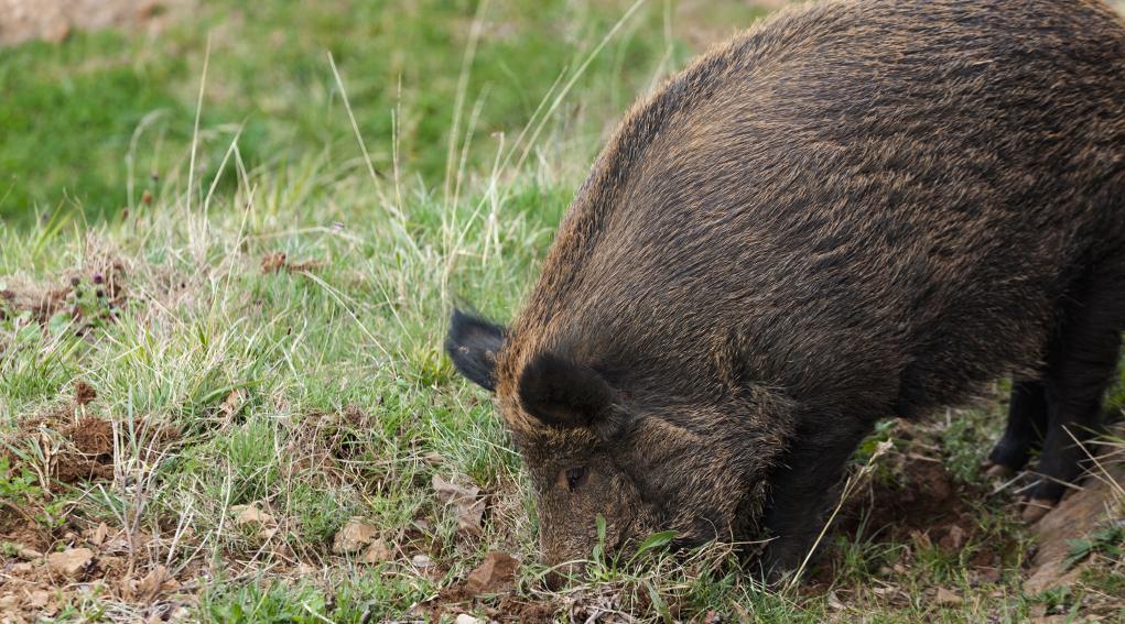 danni da fauna selvatica cinghiale rooting