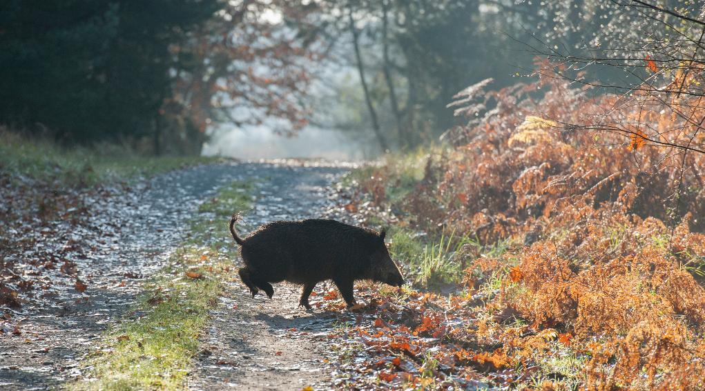 cinghiale su sentiero nella foresta: modifica legge sulla caccia per contrastare proliferazione cinghiali