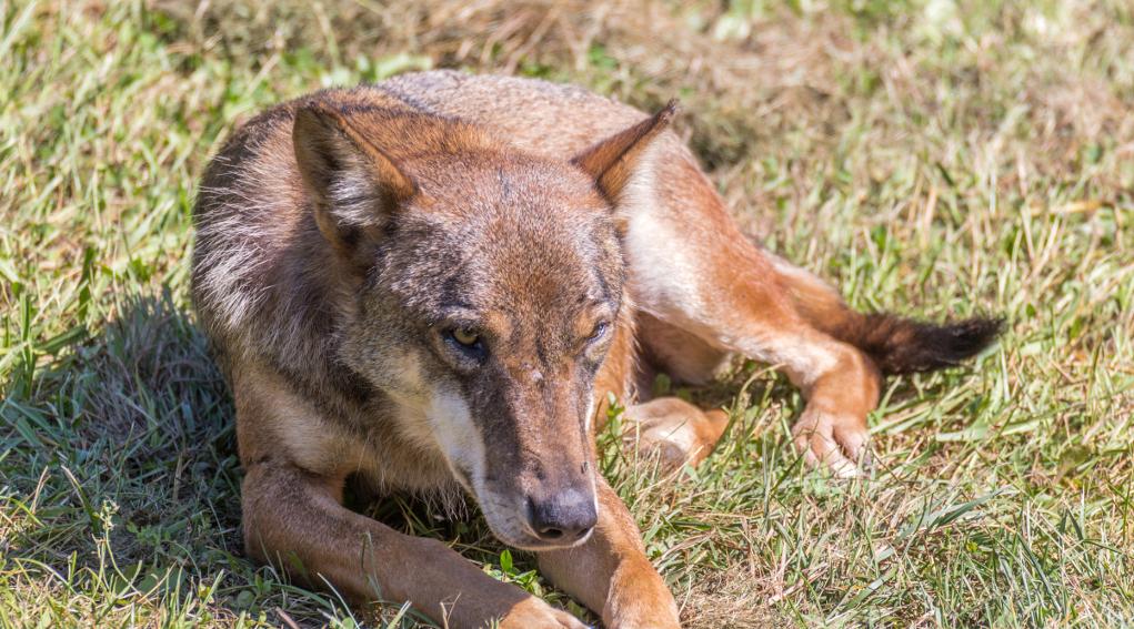 gestione del lupo, lupo accovacciato