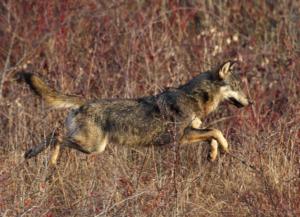 Gestione del lupo, apertura a livello europeo