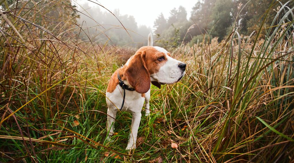 addestramento cani atteggiamento di caccia