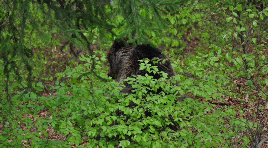 Cattura e abbattimento di orsi e lupi, la decisione della Corte costituzionale: orso tra le foglie