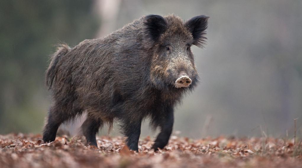 Pd Emilia Romagna presenta risoluzione sulla caccia al cinghiale in braccata