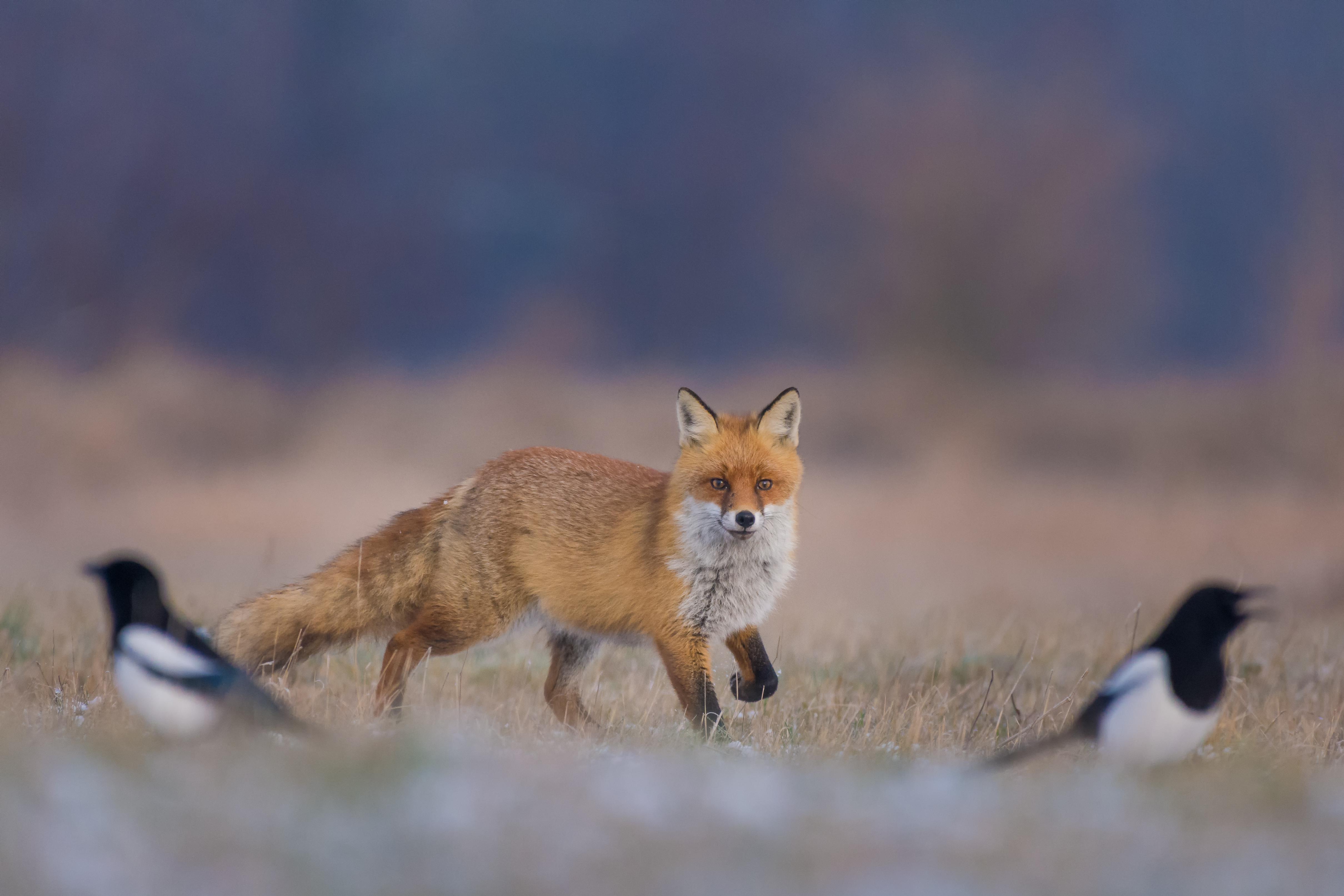 controllo dei predatori e piccola selvaggina