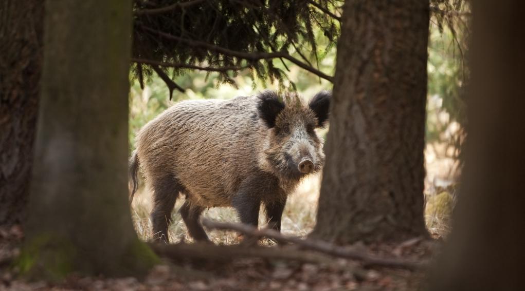 calendario venatorio della Liguria: cinghiale nel bosco