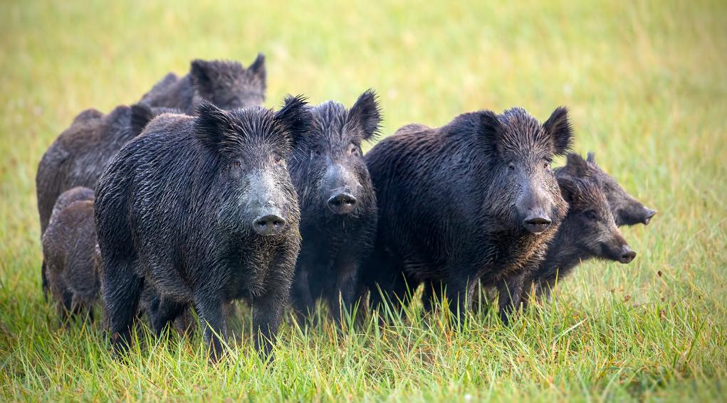 Comportamento del cinghiale, la vigilanza individuale e collettiva: cinque cinghiali adulti e tre giovani sorvegliano il territorio
