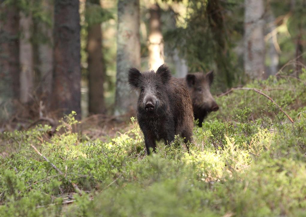 comportamento del cinghiale e vigilanza, due cinghiali sorvegliano congiuntamente la foresta
