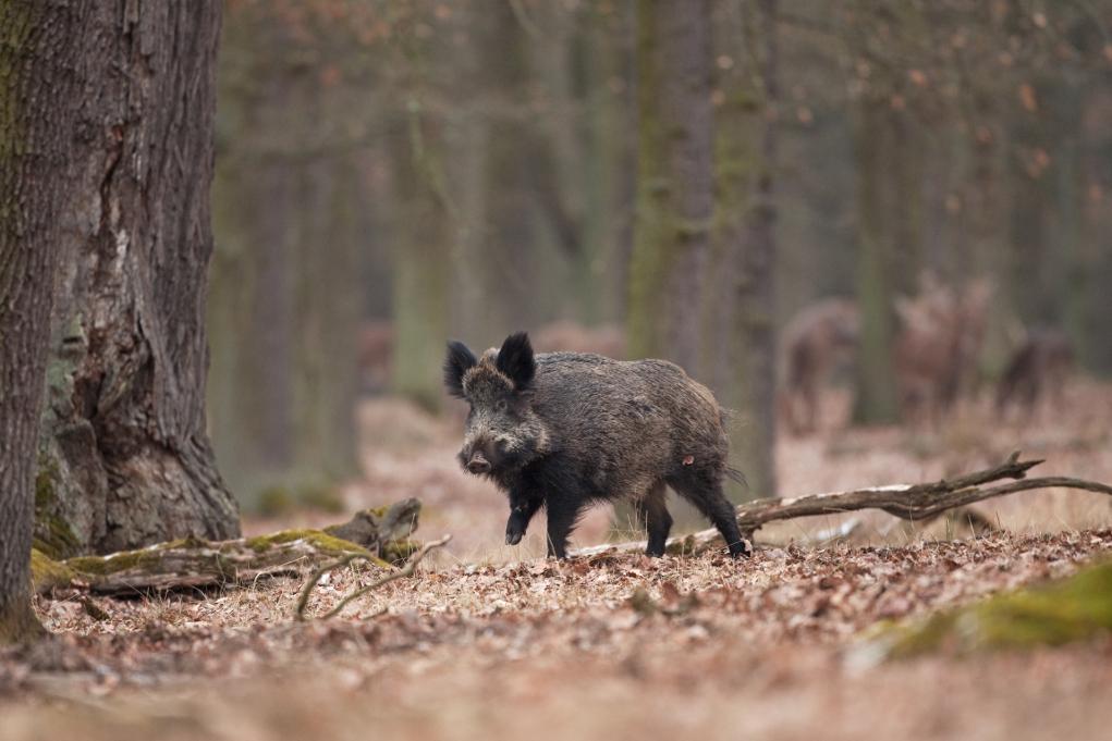 un cinghiale da solo nella foresta