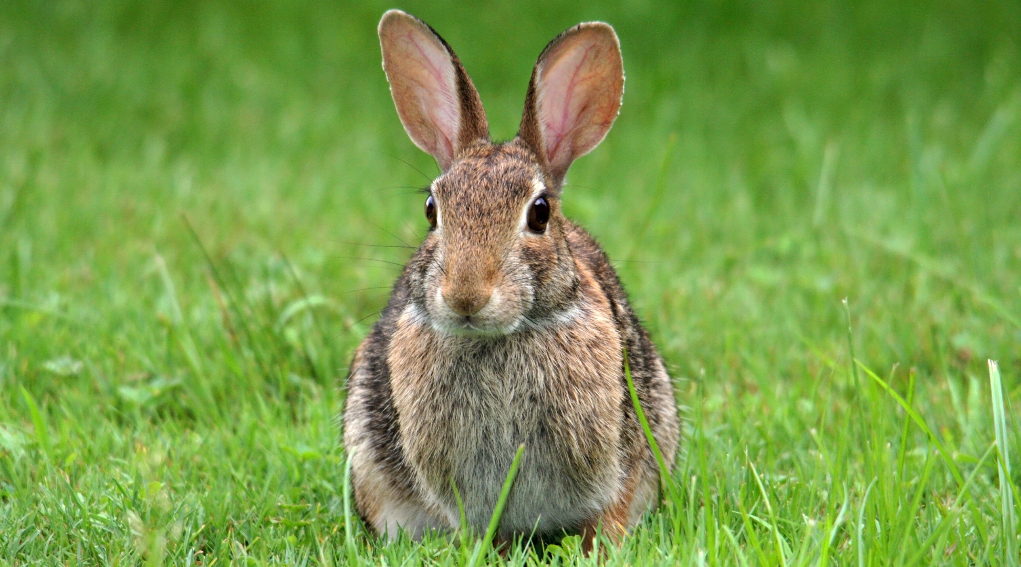 caccia al coniglio selvatico