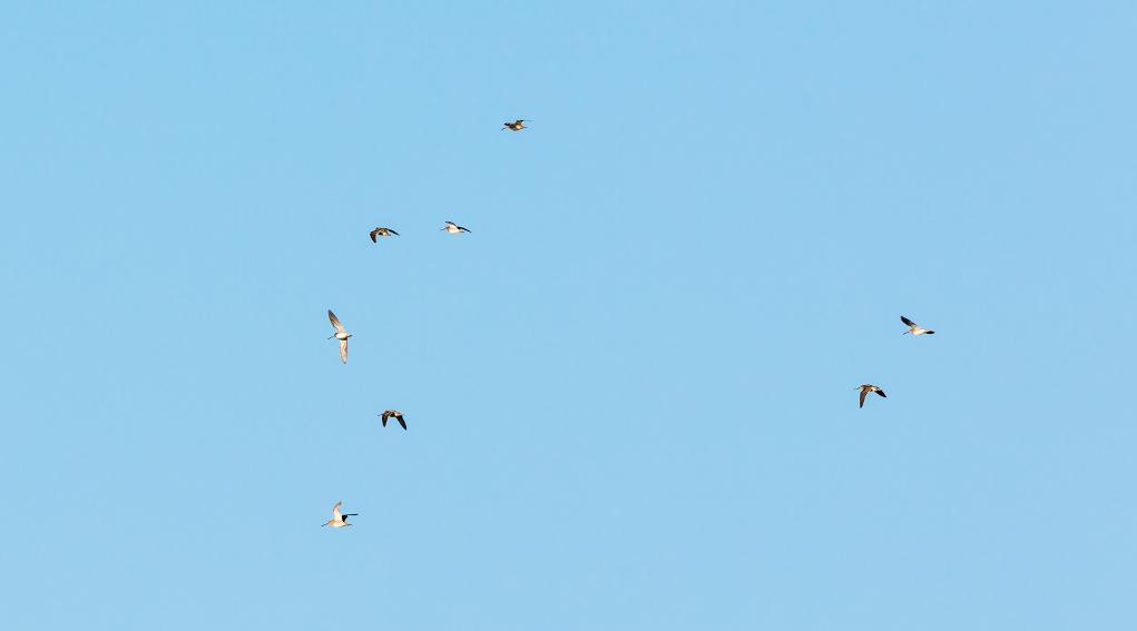 monitoraggio della fauna migratoria: beccacce in volo
