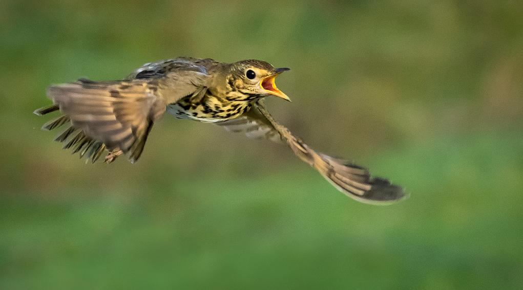 rotte dell'avifauna migratoria: tordo bottaccio in volo