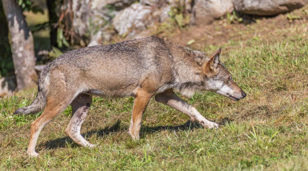 grandi carnivori: lupo sulle Alpi