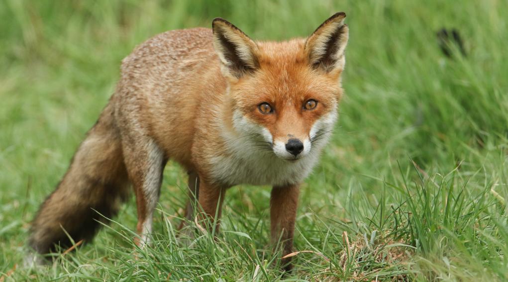 Controllo della volpe: volpe nell'erba