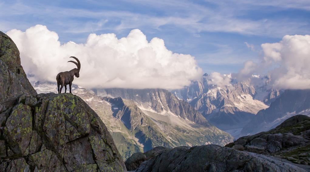 Stambecco alpino davanti al monte bianco