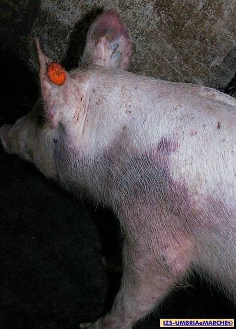 lesioni emorragiche da peste suina africana