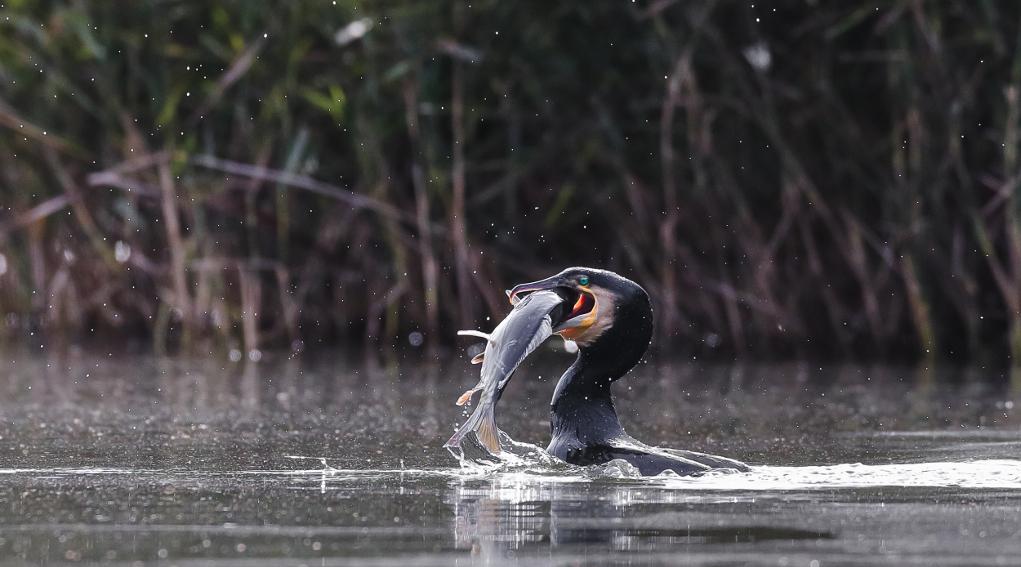controllo del cormorano in Liguria: cormorano riemerge dall'acqua con un pesce nel becco
