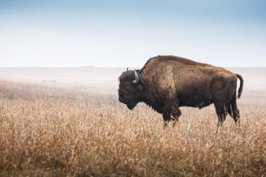 un bisonte americano nella prateria
