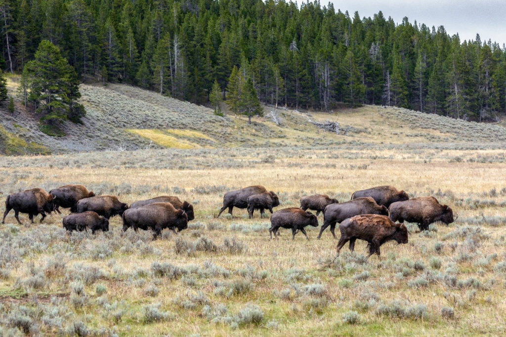 quattordici bisonti americani nella prateria
