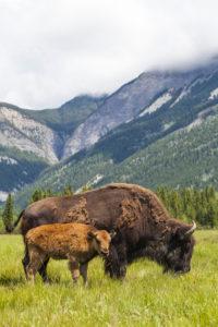 bisonte americano adulto con piccolo