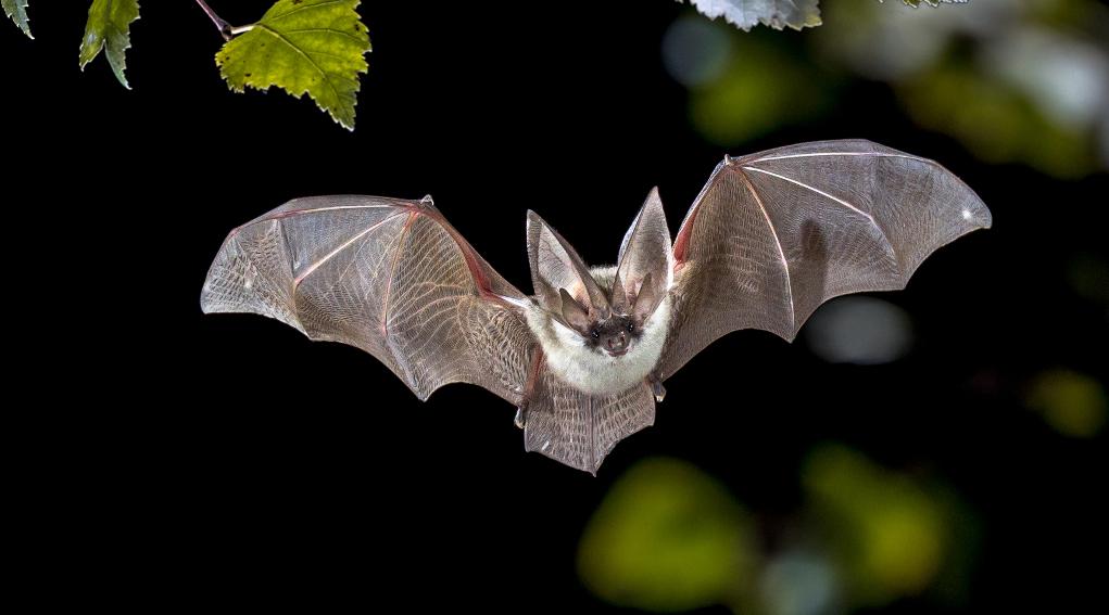 Coronavirus Covid-19 e pipistrelli