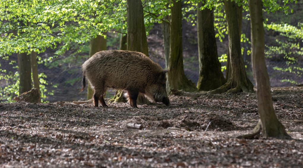 caccia collettiva al cinghiale: cinghiale nel bosco