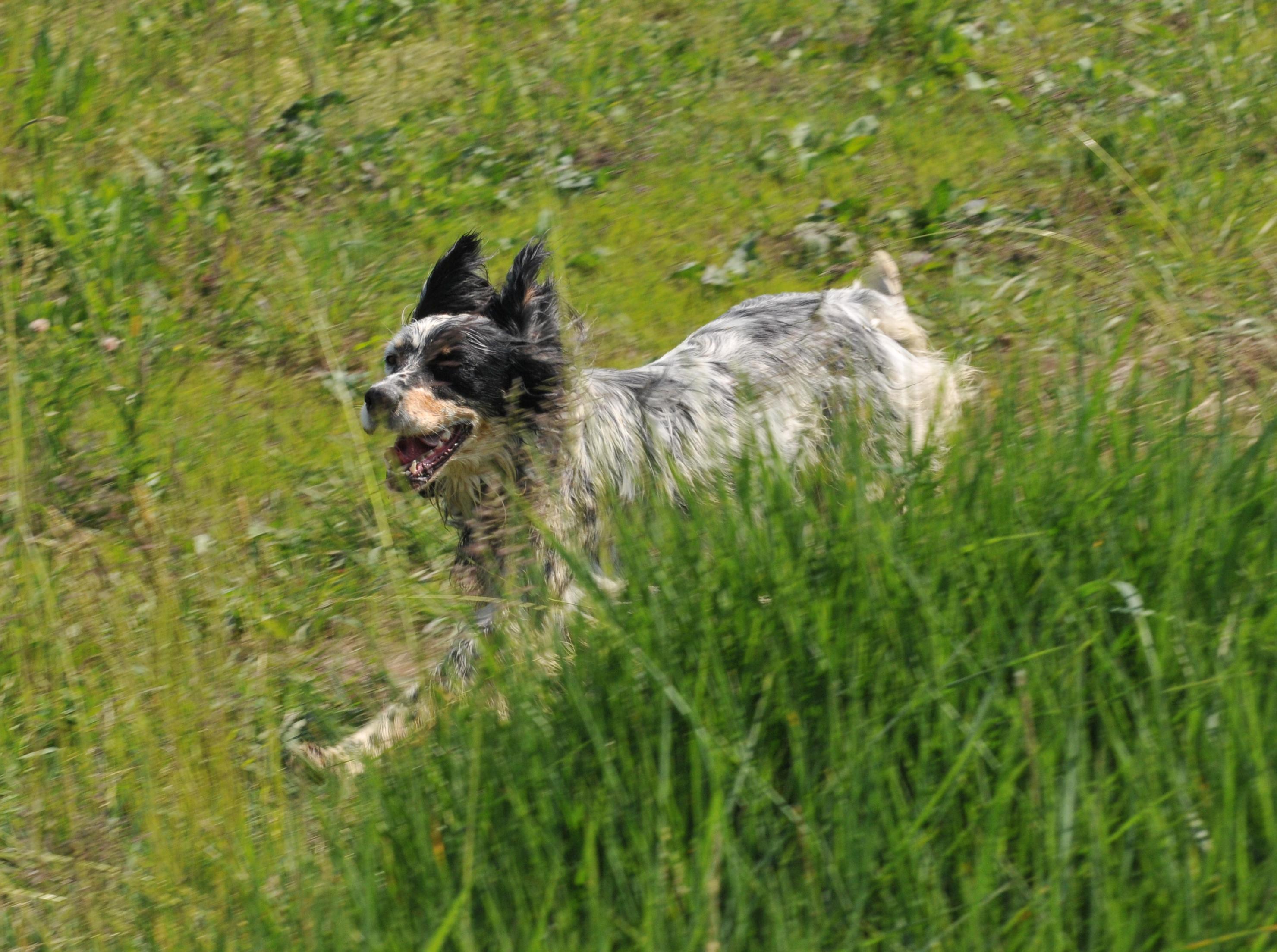 Addestramento cani controllo caccia di selezione