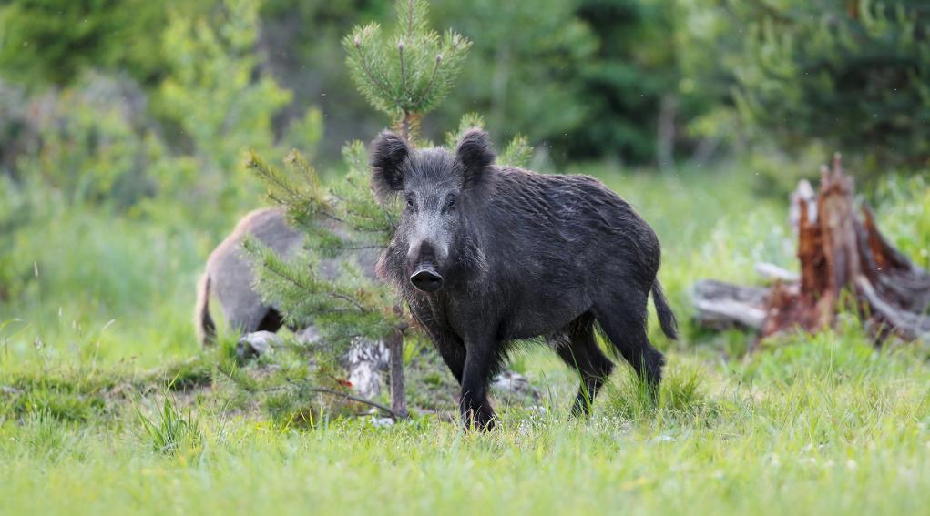 Caccia di selezione in Lombardia: cinghiale nel bosco