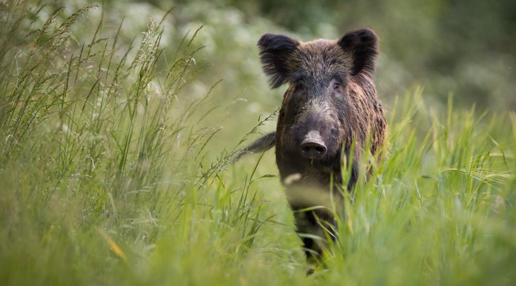 caccia di selezione in Toscana: cinghiale nell'erba