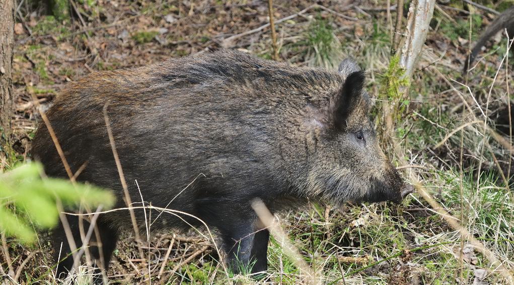 caccia di selezione in Liguria: cinghiale di profilo, a cartolina