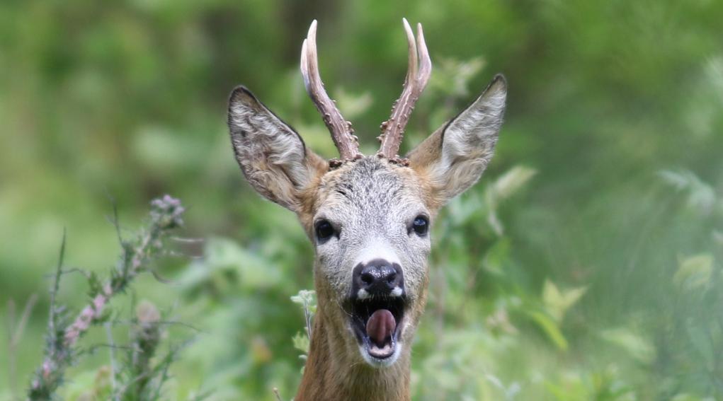 caccia al capriolo in Emilia Romagna: capriolo maschio in primo piano