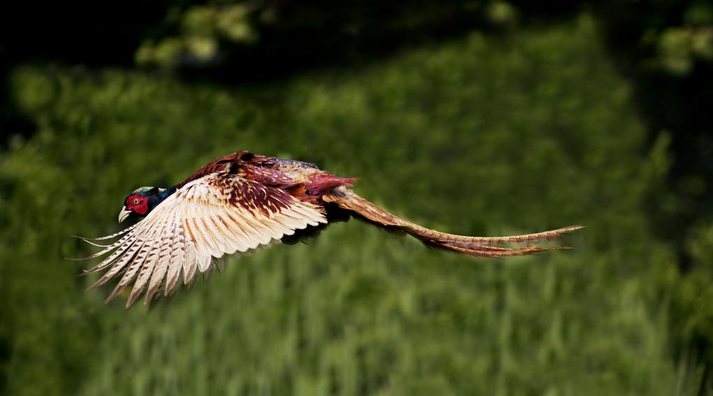 gestione della selvaggina stanziale: fagiano in volo
