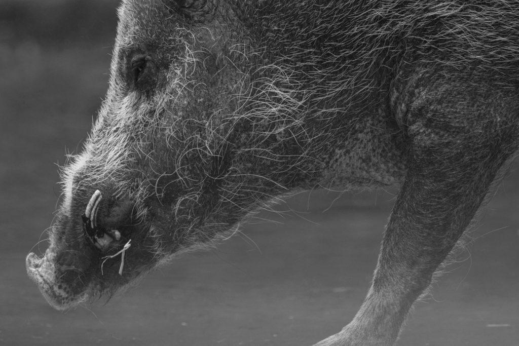muso di cinghiale in primo piano, inchiesta sull'impatto economico della pandemia sul mondo della caccia