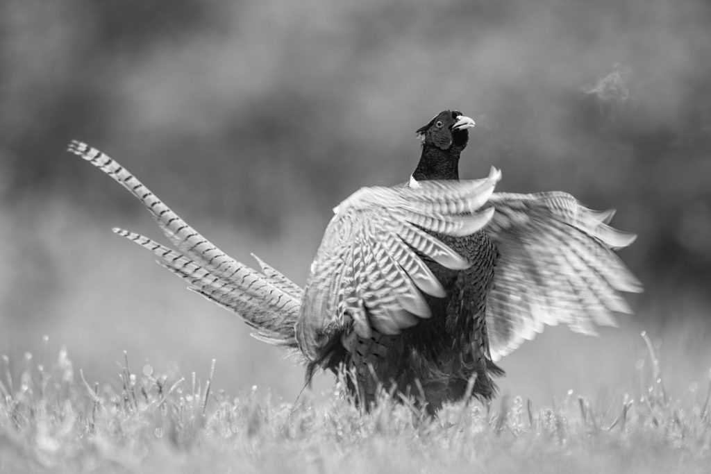 un fagiano chiude le ali, inchiesta sull'impatto economico della pandemia sul mondo della caccia