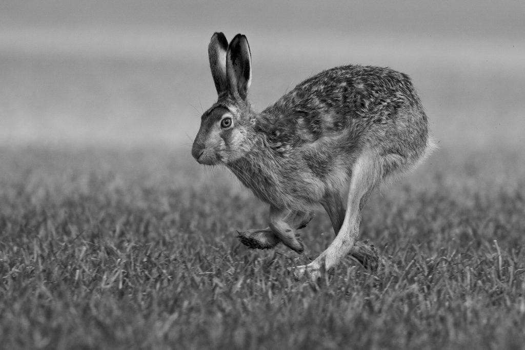 una lepre corre in un prato, inchiesta sull'impatto economico della pandemia sul mondo della caccia
