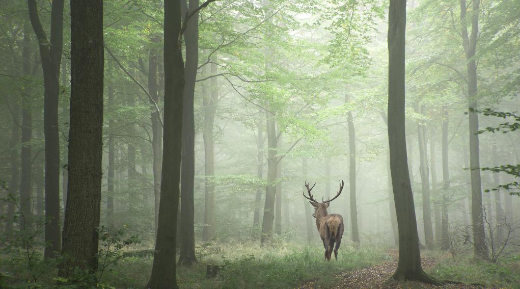 caccia al cervo in Toscana: cervo nel bosco, visto da dietro