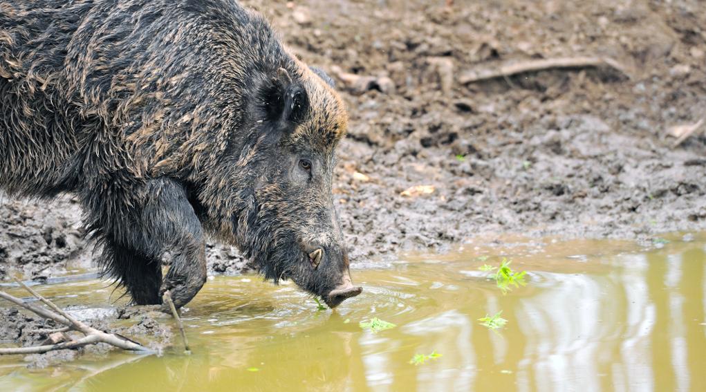 periodo di caccia al cinghiale: cinghiale nel fango