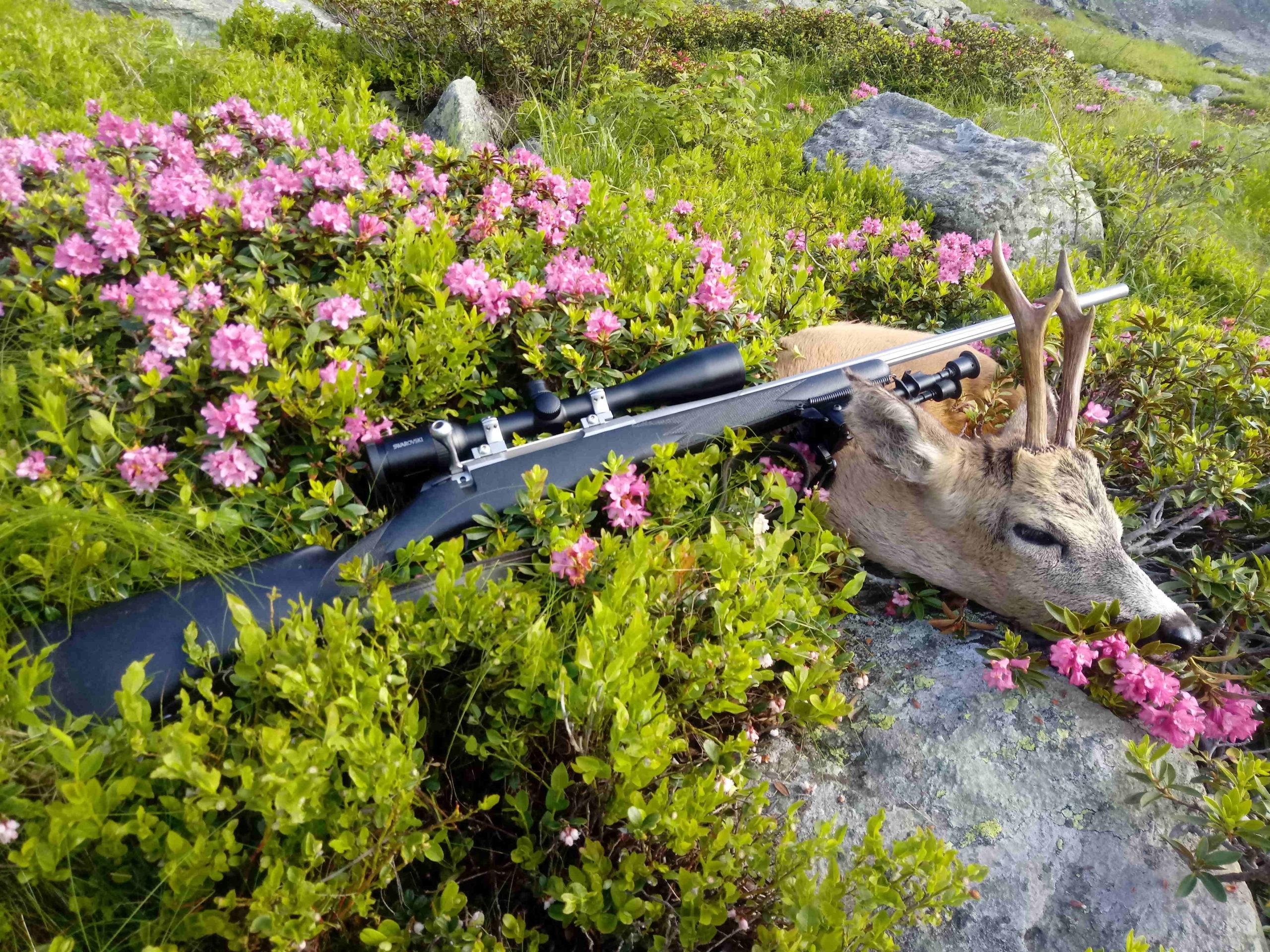 capriolo prelevato a caccia