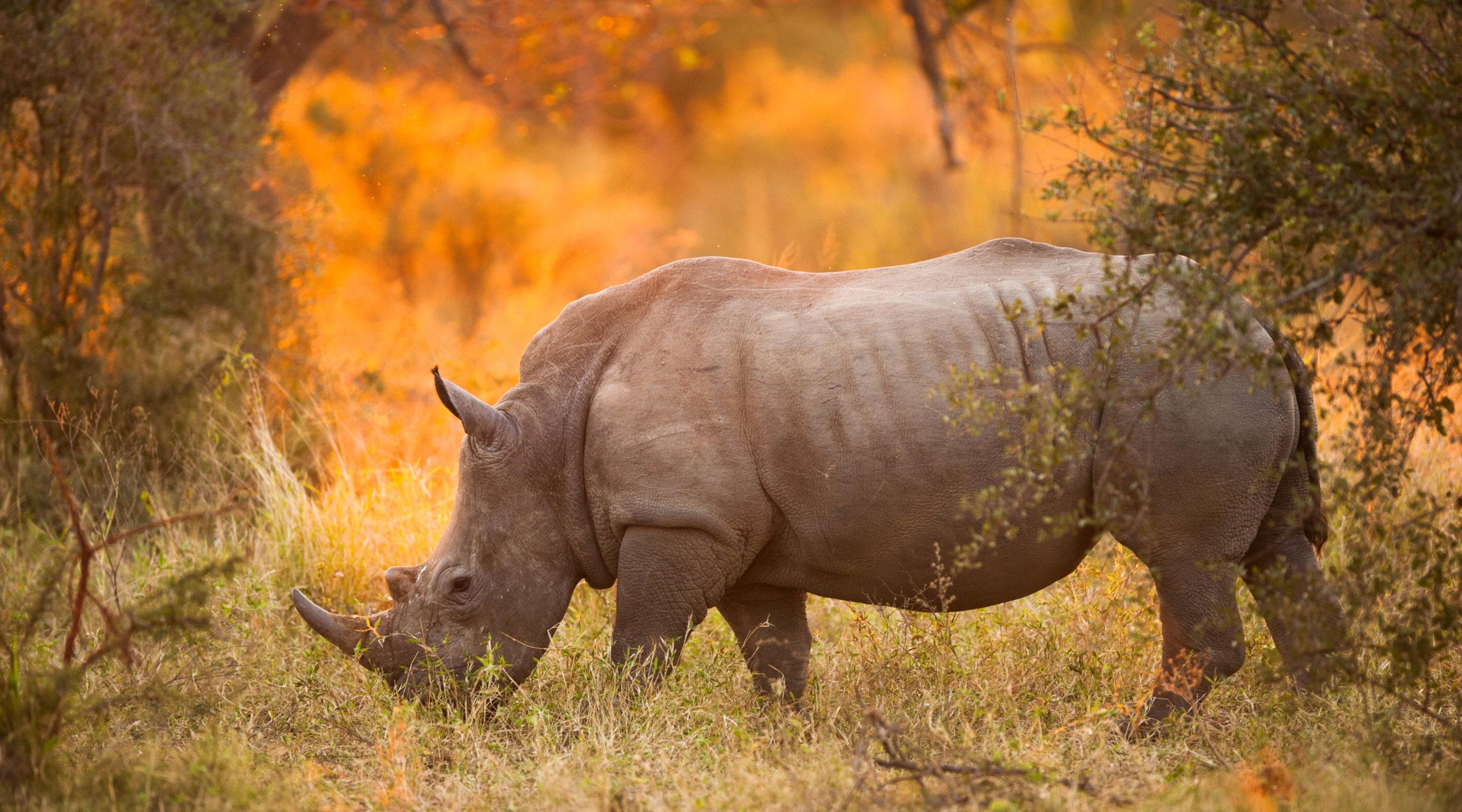 caccia al trofeo: rinoceronte nero nel parco kruger, ambiente africano
