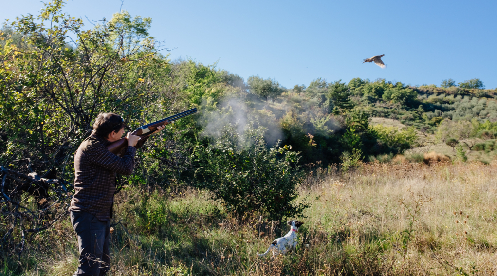 calendario venatorio del molise: cacciatore spara a fagiano in volo