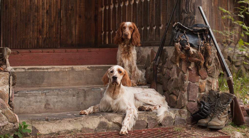notizie di caccia: due setter davanti a casa di caccia