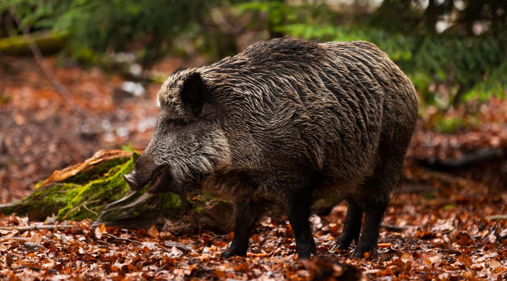 Impugnata la nuova legge toscana sulla caccia: cinghiale nel bosco, in ambiente autunnale