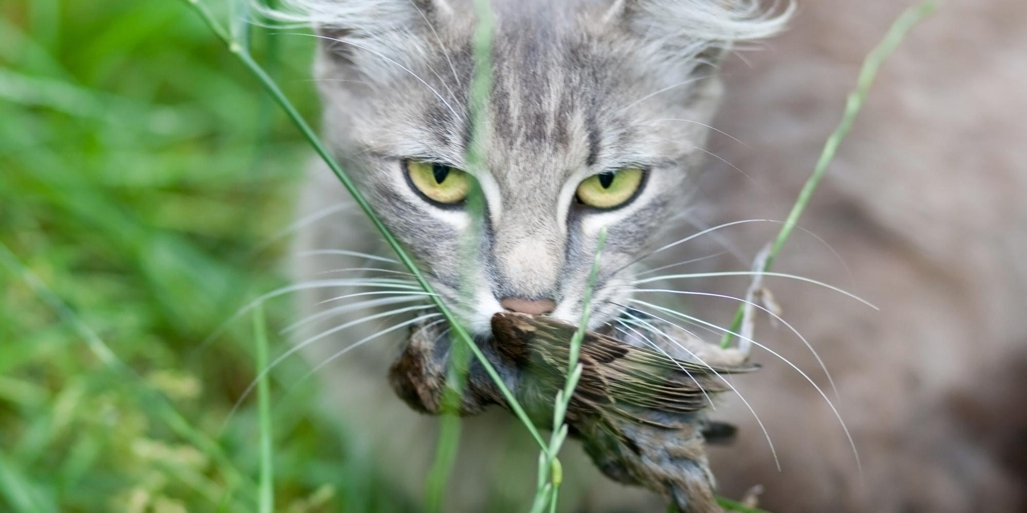 Interazioni tra fauna selvatica e fauna: gatto con un passerotto in bocca