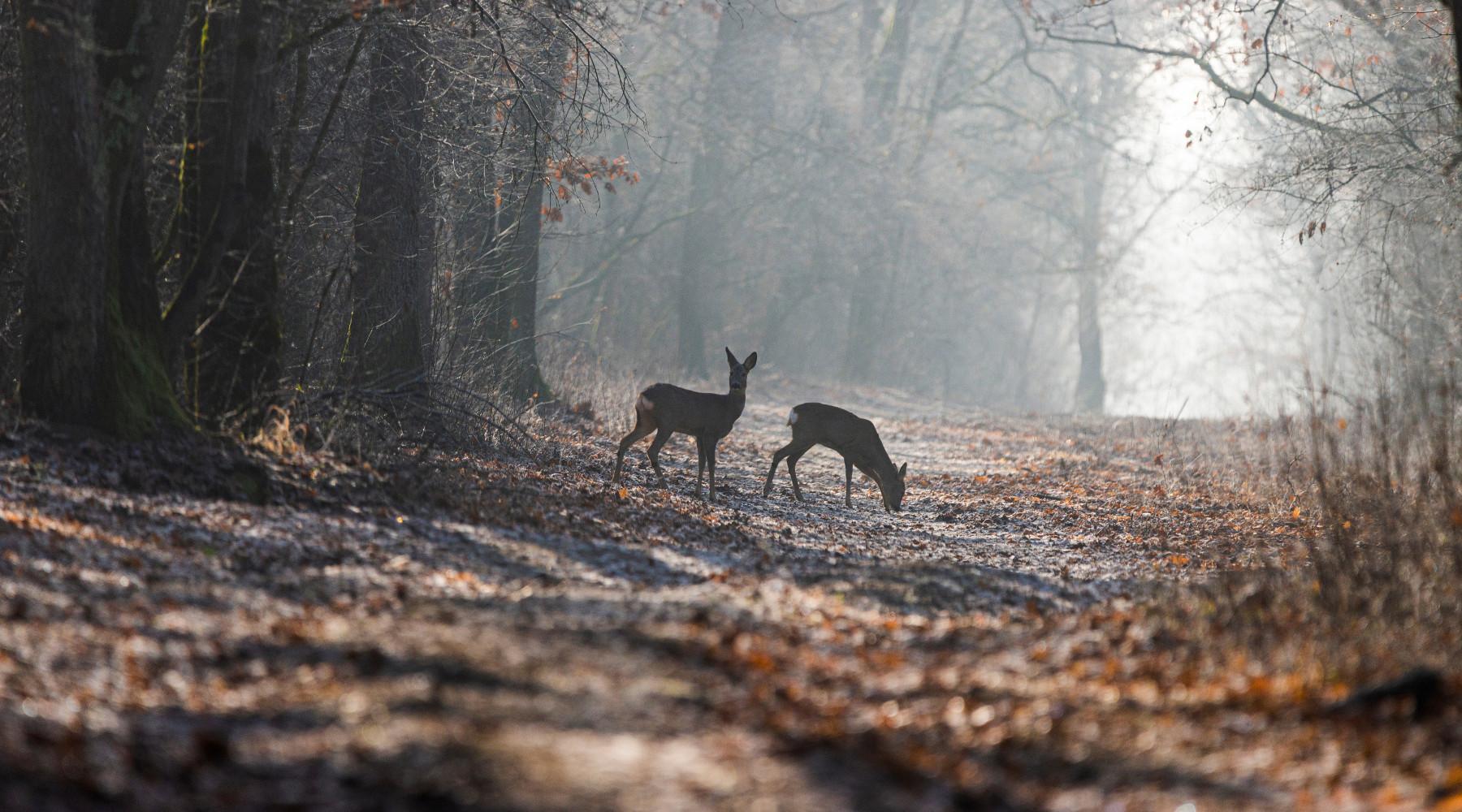 caccia di selezione in Emilia Romagna: caprioli nel bosco