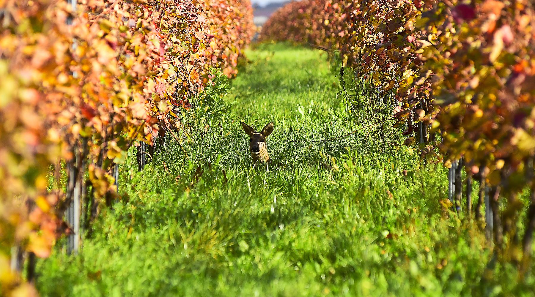 caccia di selezione in zona rossa e arancione: capriolo in vigna