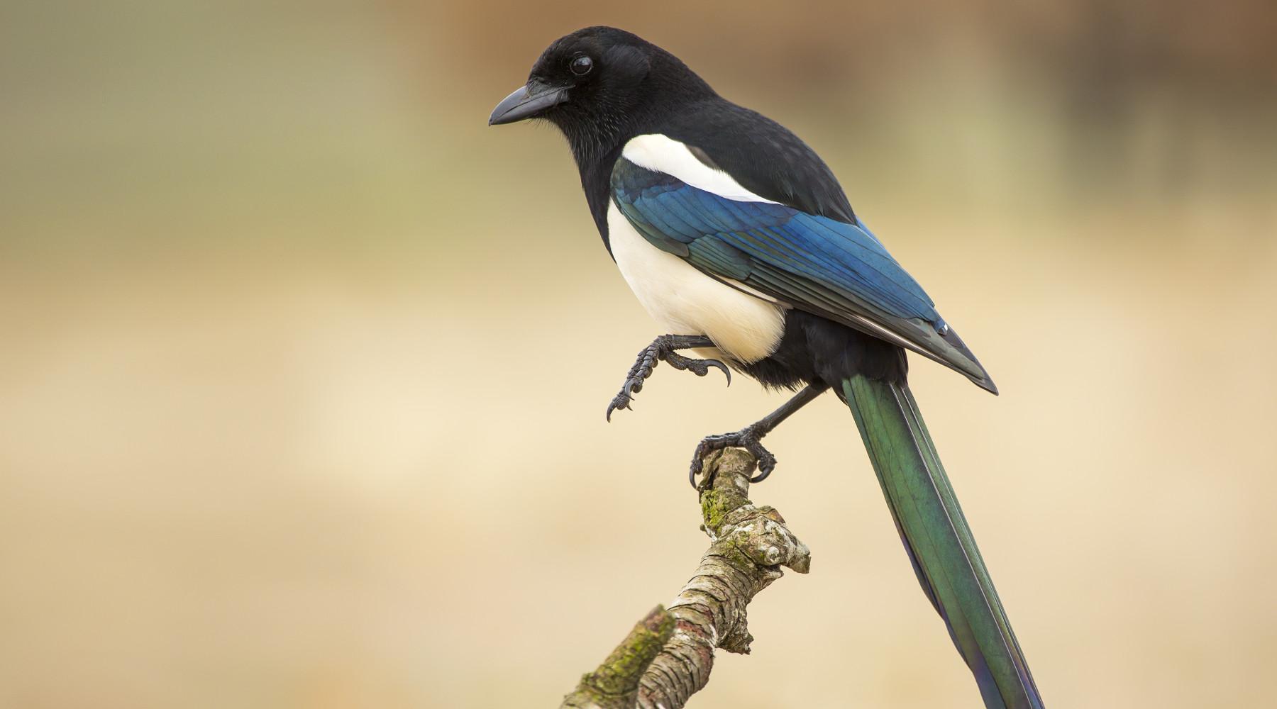 caccia ai corvidi in Toscana: gazza su un ramo
