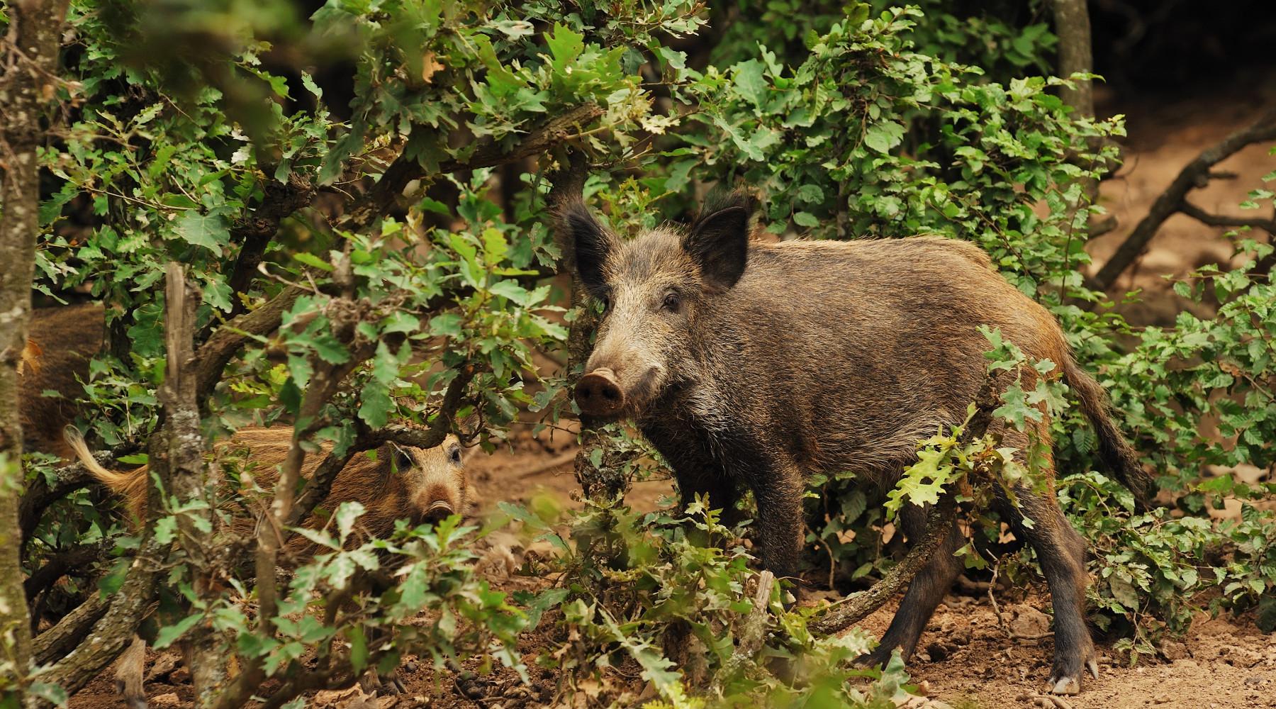 Cacciatori e controllo faunistico: cinghiale nel bosco