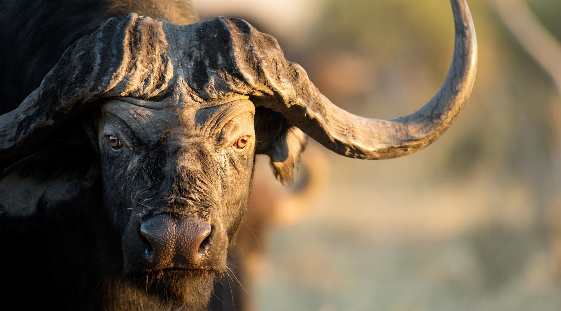 Importazione di trofei di caccia in Europa: bufalo del Capo