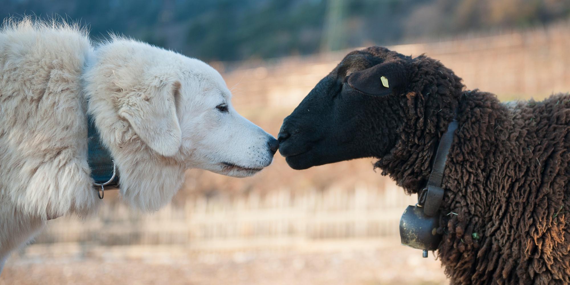 Cani da guardiania: cane da guardiania muso a muso con una pecora nera