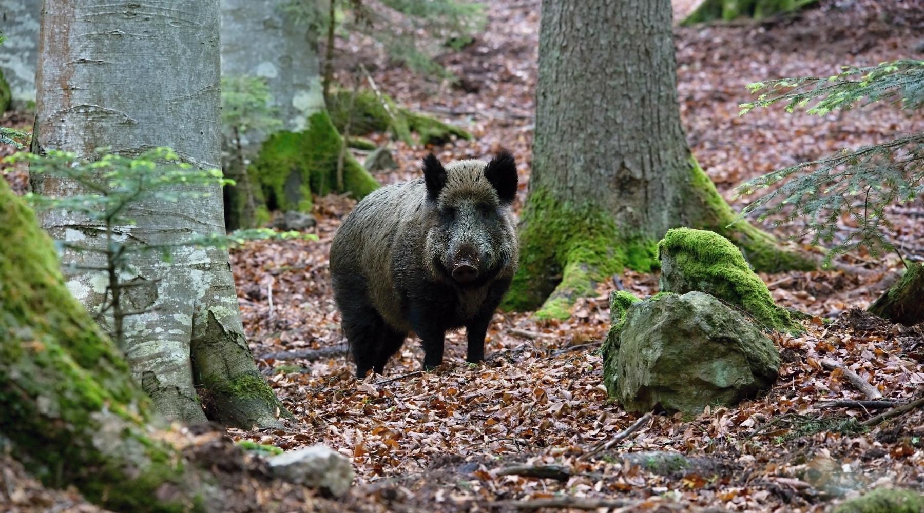 Gestione della fauna: cinghiale nella foresta