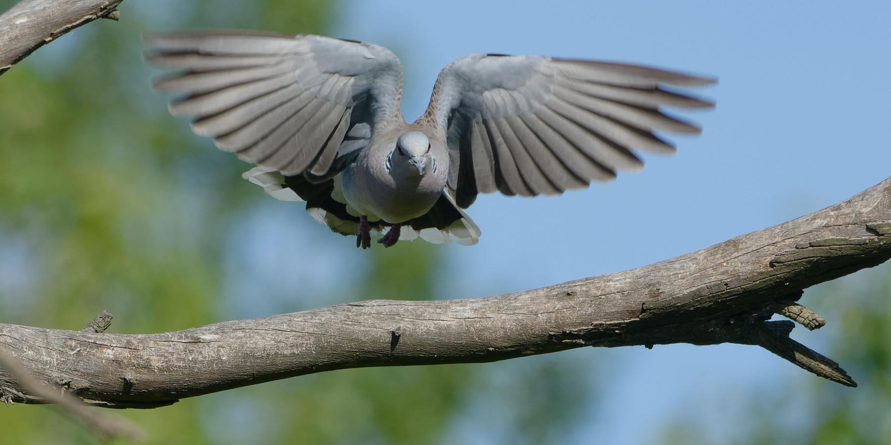 preapertura della caccia: tortora in volo verso ramo di un albero